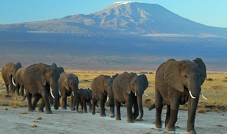 Kepemimpinan Mamalia - Gajah